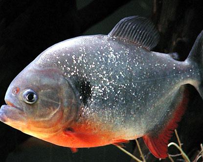 amazon-animals-piranha