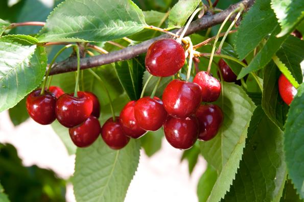 Guida coltivare alberi da frutto a partire dal seme for Alberi da frutto