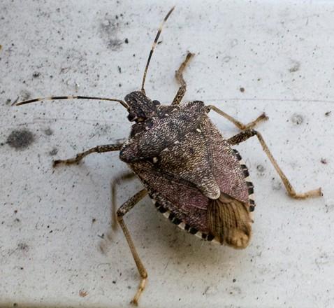 Agricoltura scoperta nuova cimice dannosa for Cimice insetto