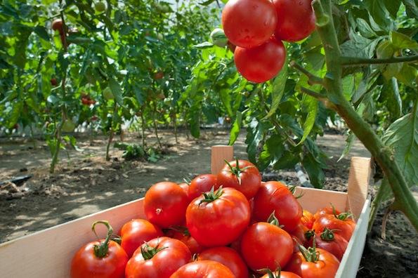 Orto domestico 13 semi a costo zero itaeuropaunita for Piantare pomodori