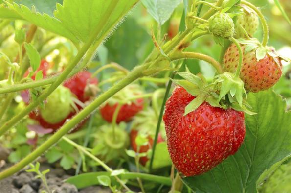 Le migliori piante da frutto da coltivare in vaso for Fragole piante in vaso