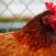 escrementi gallina