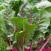coltivare bietole